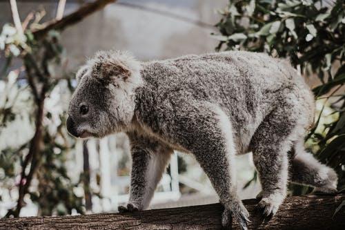 最新澳洲民调:遏制中国?不好意思,我装的!